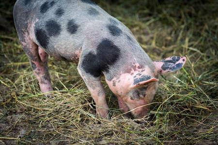 free range: Free range, outdoor bred cute pink piglet Stock Photo