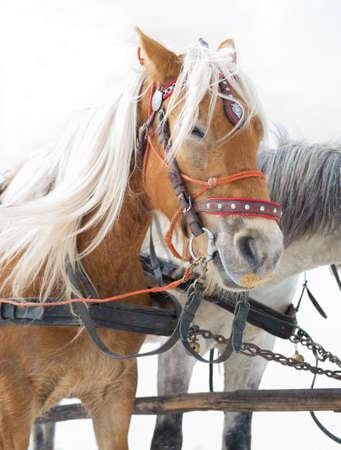 alternative transport: Horse sledge, alternative winter transport, tourist attraction