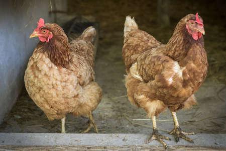 egg laying: Egg laying hens at free range farm Stock Photo