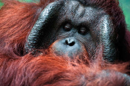testosterone: Dominant male orangutan with the signature cheek pads that  develope in response to a testosterone surge Stock Photo