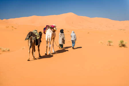 Female tourist and nomadic berber leading 2 camels through desert, Erg Chebbi, Morocco