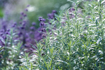shallow: Lavender, shallow depth of field