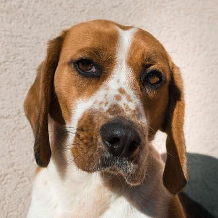 ojos tristes: Beagle lindo con ojos tristes, el concepto de rescate de la adopción
