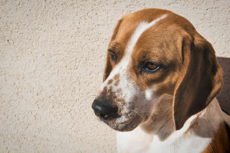 occhi tristi: Cute beagle with sad eyes, adoption rescue concept