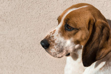 occhi tristi: beagle sveglio con gli occhi tristi, il concetto di adozione di salvataggio