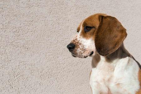 sad eyes: Cute beagle with sad eyes, adoption rescue concept