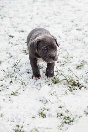 loose skin: Black Neapolitan Mastiff puppy