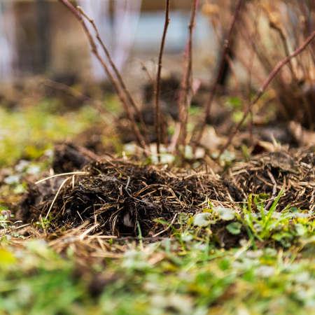 fertilizing: Fertilizing manure around blackberries plants. Spring garden concept