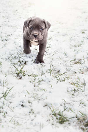 mastiff: Grey Italian Mastiff puppy, Cane Corso Stock Photo