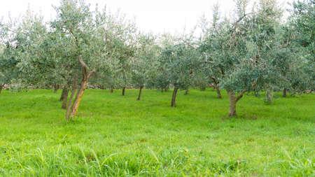 homegrown: Olive trees, homegrown produce, Croatia Stock Photo