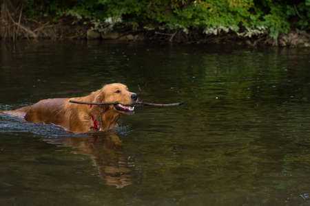 retrieving: Golden retriever retrieving a stick from water Stock Photo