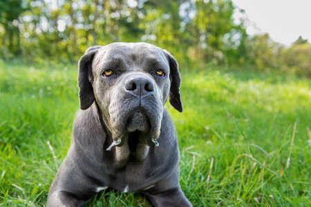 instincts: Cane corso, italian mastiff dog