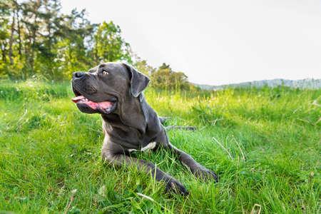 Cane corso, italian mastiff dog