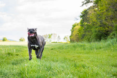 cane corso: Cane corso, italian mastiff dog