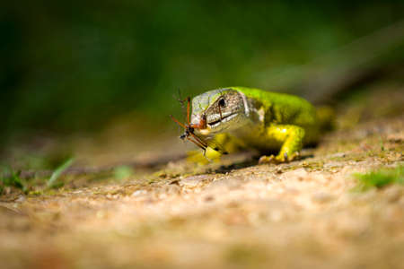 European green lizard Lacerta viridis feeding on an insect