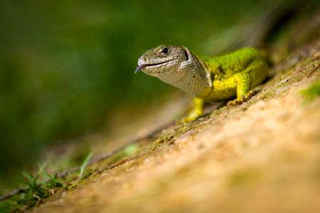 European green lizard Lacerta viridis, female Stock Photo
