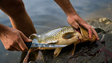 Fisherman filleting freshly caught freshwater carp, fisherman and his catch Stock Photo