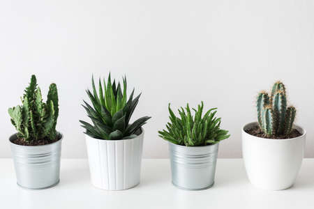 Collection of various cactus and succulent plants in different pots. Potted cactus house plants on white shelf against white wall.