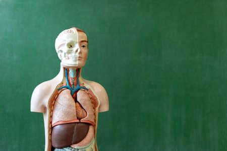 Artificial human body model. Biology class. Anatomy teaching aid. Education concept.