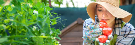 Beautiful young small business farmer smelling freshly harvested tomatoes in her garden. Homegrown bio produce concept. Small business owner. Web banner. 免版税图像