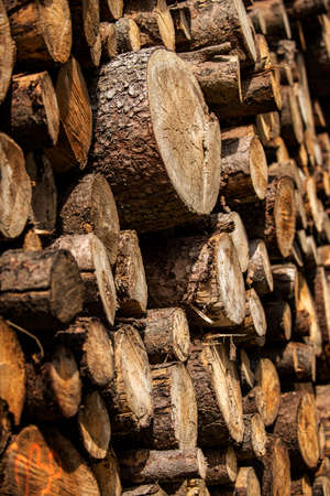 Pine tree forestry exploitation. Stumps and logs. Overexploitation leads to deforestation endangering environment and sustainability.