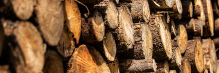 Pine tree forestry exploitation. Stumps and logs. Overexploitation leads to deforestation endangering environment and sustainability. Timber logging industry banner.