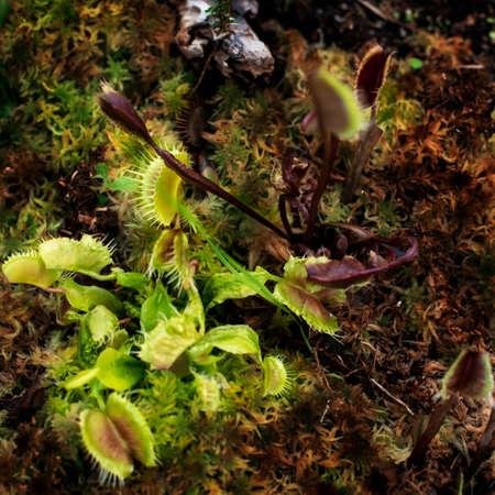 Carnivorous Venus Fly Trap (Dionaea muscipula) Plants. Фото со стока