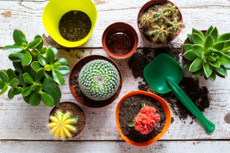 Cactus and succulents house plants background. Collection of various house plants, potting soil and trowel on white wooden background. Potting house plants background.