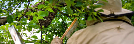 Beekeeping. Beekeeper collecting escaped bees swarm from a tree. Apiary background. Standard-Bild