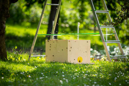 Beekeeping. Collecting escaped bees swarm from a tree. Apiary background. A swarm of European honey bees being collected after escaping.