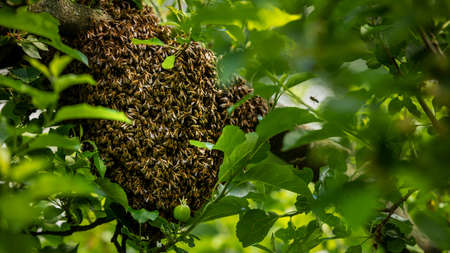 Beekeeping. Escaped bees swarm nesting on a tree. Apiary background. A swarm of European honey bees clinging to a tree.