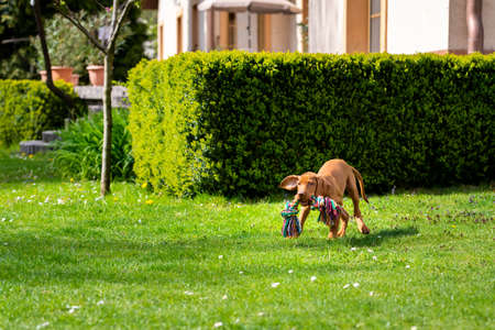 Adorable Hungarian Vizsla puppy running in a garden with colorful tug of war rope in mouth.