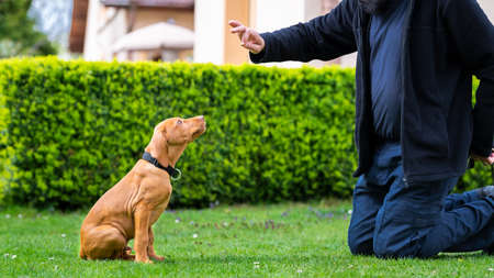 Obedience training. Man training his vizsla puppy the Sit Command using treats.