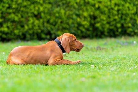 Formazione all'obbedienza. Cucciolo di Vizsla che impara il comando di sdraiarsi. Cucciolo di Vizsla ungherese carino sdraiato sul prato.