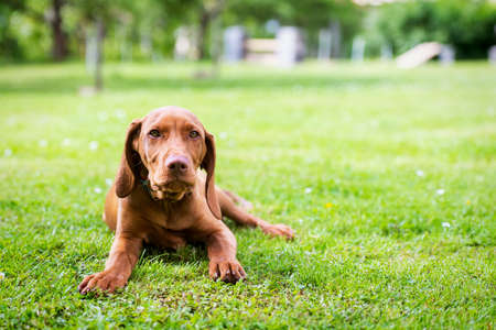 Obedience training. Vizsla puppy learning the Lie down Command. Cute Hungarian Vizsla puppy laying down on lawn. Stock fotó
