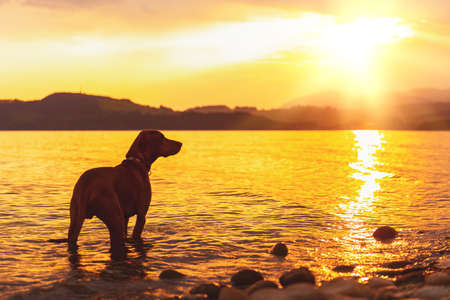 Gorgeous family pet dog on a beach at sunset. Vizsla puppy on summer vacation exploring the sea.