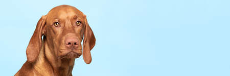 Cute hungarian vizsla dog studio portrait. Dog looking at the camera headshot over blue background banner. Stock fotó