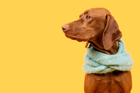 Beautiful hungarian vizsla dog wearing scarf side view studio portrait. Dog sitting and looking to the side over bright yellow background.