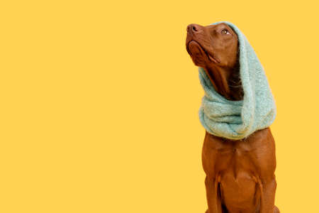Beautiful hungarian vizsla dog wearing scarf studio portrait. Dog sitting and looking up over bright yellow background.