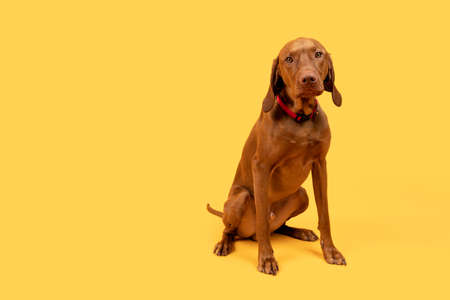 Cute funny hungarian vizsla dog full body studio portrait. Funny dog sitting and looking at camera, front view over bright yellow background.