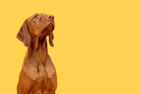Cute hungarian vizsla puppy studio portrait. Dog looking up headshot over bright yellow background.
