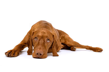 Beautiful hungarian vizsla dog full body studio portrait. Dog lying down and looking up, isolated over white background.