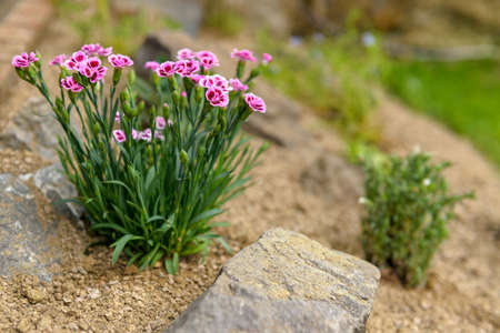Pink dianthus alpine flower planted in a rockery garden. Rock garden plant close up.