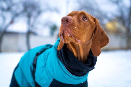 Beautiful vizsla dog wearing blue winter coat enjoying snowy day outdoors.