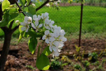 apple tree blooming photo