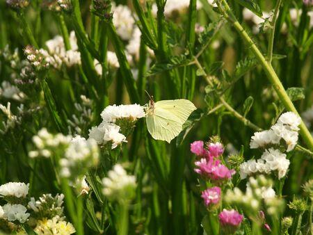 beach butterfly: Brimstone, Butterfly, Summer, beach lilac, garden, park,