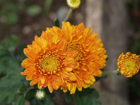 pflanzen: Chrysanthemum, summer, flowers, plants, nature, garden, park, Stock Photo