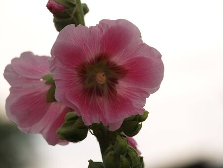hollyhock: Hollyhock, Stock Photo
