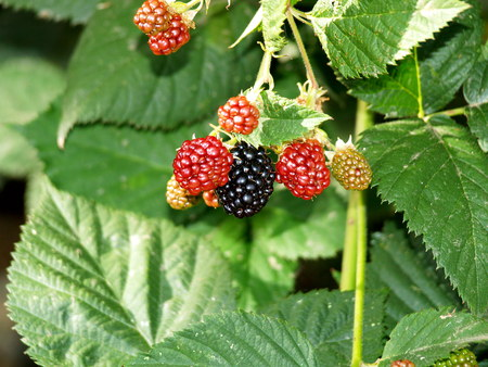 pflanze: blackberry