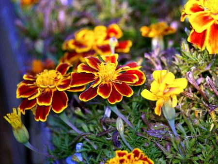 pflanze: Studentenblume